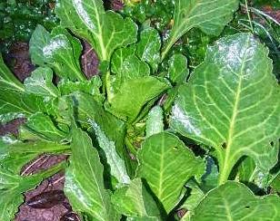 Sea beet plant