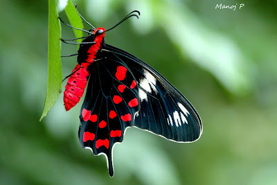 Crimson Rose  Butterfly - Pachlipta hector Linnaeus