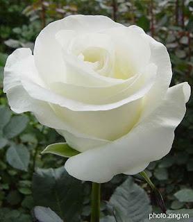 Chuyện kể của bông hồng cài áo mùa Vu Lan