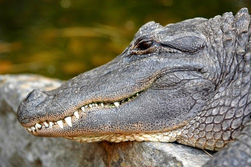 My APES: American Alligator [Indicator Species] Native to the US