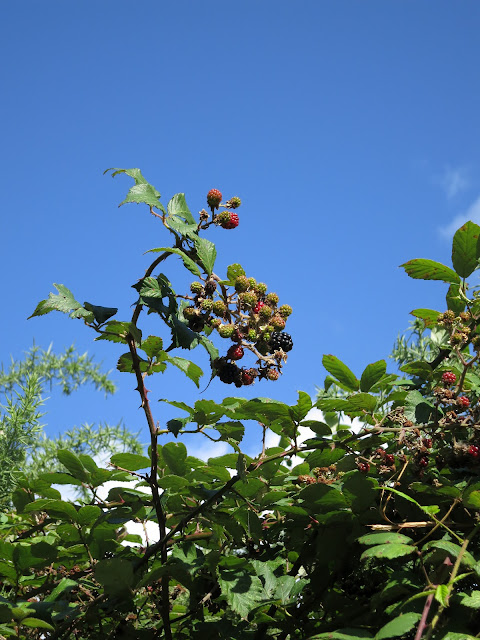 Ripening Blackberries Against a Blue, Blue Sky