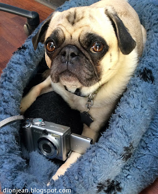Liam the pug with his camera learning SEO tips