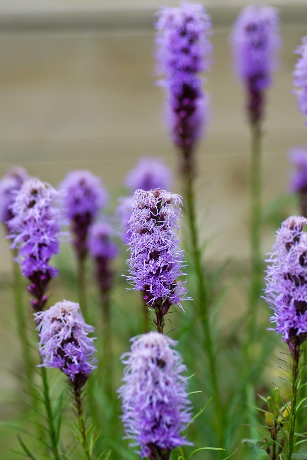Садовый цветок лиатрис фото