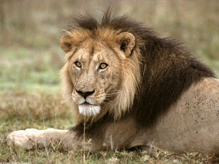 african lion tanzania africa