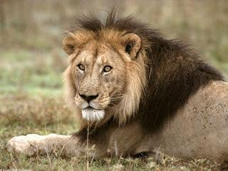 african lion tanzania africa