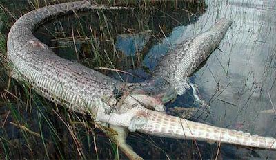 Гигантская змея лопнула, когда проглотила крокодила