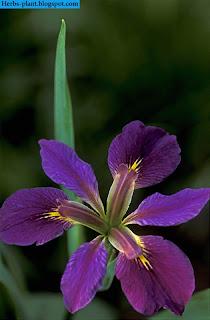 صور زهرة البنفسج الرائعة