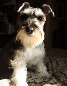 Miniature Schanuzer Dog History