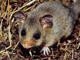 Mountain Pygmy Possum (Burramys parvus)|Data 7 Hewan Langka Yang Hampir Punah