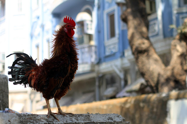 City cockerel on a wall in Mumbai, India