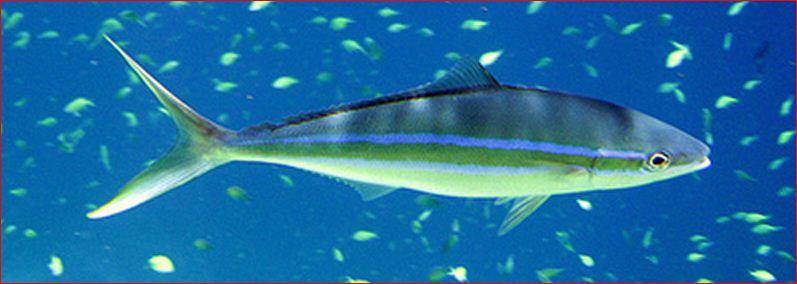 Fish identification for Blue runner fish