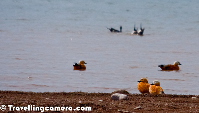 Ruddy Shelduck was first colorful bird which I saw during recent trip to Pong Dam Lake in Kangra Region of Himalayan State of India. These birds were quite attractive and standing out in all other species having more shades of white or black. These birds were one of the most colorful Migratory species at pong during winters, Let's have a quick Photo Journey with Ruddy Shelducks with some information about them...Flying Ruddy Shelducks look amazing as their body shines in sunlight. Their flight seemed almost similar to Bar Headed Goose, although I can be wrong as I have just started observing birds. The main difference I saw is that Ruddy Shelduck can easily be found as couples while Bar headed goose were mainly in large flocks. This can again be an observation from two days of visit to pong where we may have seen very specific nature of these birds, which may not be generally true always. Above two photographs are shot on shoreline of Pong Dam Lake near Meenu Khad which is just next to Nagrota Suriyan !!A flying Ruddy Shelduck near Maharana Pratap Sagar aka Pong Dam Lake in Kangra District of Himachal Pradesh, India. This recent trip was very inspirational as I got an opportunity to meet very passionate Birders from different cities of India and some Wildlife Professionals from Himachal Pradesh. I was accompanying folks from Chandigarh Birding Club and few Wildlife Professionals from Kullu & Chamba. During these two days I could also remember few bird names with their images in my mind :During one of the conversations, someone also told me that Ruddy Shelduck is also known as Brahmani Duck. From name it seems like an Indian version of the name and not sure how popular this name is. But most of the localities knew this bird as Brahmani Duck and one of the reason might be that English names are too difficult for them to be remembered. Such names can easily be forgotten if you are not interested in birds. On the beginning of first day at Pong Dam, I was amazed to see B