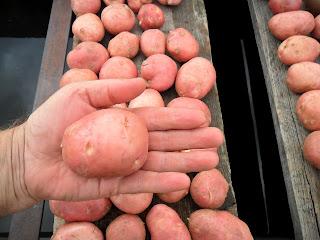 vkusniogorod, семенной картофель промываю