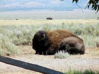 Roaming buffalo in Grand Teton National Park in Wyoming