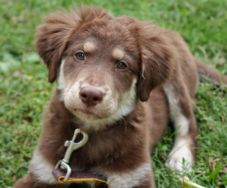 Australian Shepherd Golden Retriever Mix http://goldensretrievers1.blogspot.com/2012/04/australian-shepherd-golden-retriever.html