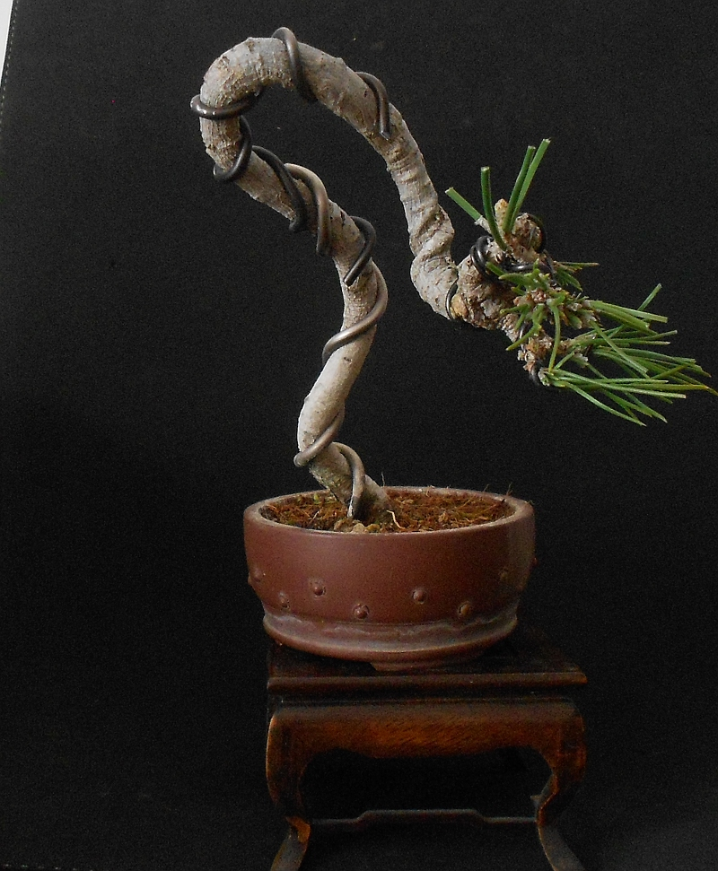 pin miniature bonsai from keshitsubo to mame home plants on pinterest. Black Bedroom Furniture Sets. Home Design Ideas