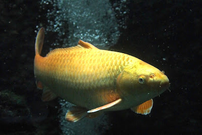 Various types of koi fish and their color pattern exotic for Ornamental pond fish golden