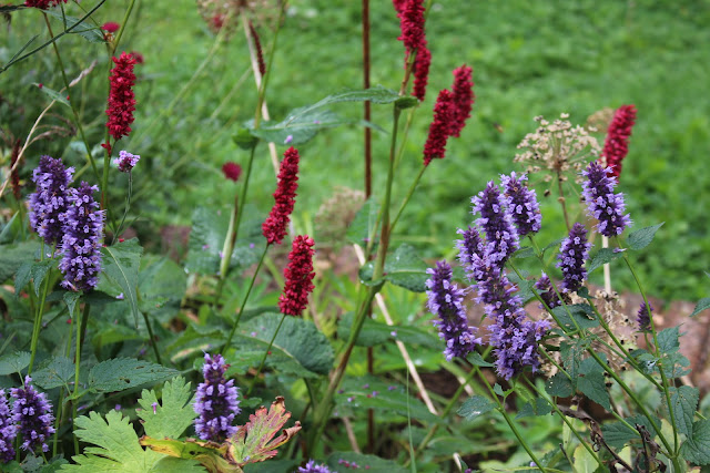 Persicaria 'Fat Domino' and Agastache 'Blackadder' in combination in my garden