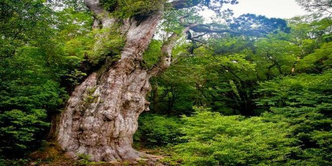 Pohon Paling Tua