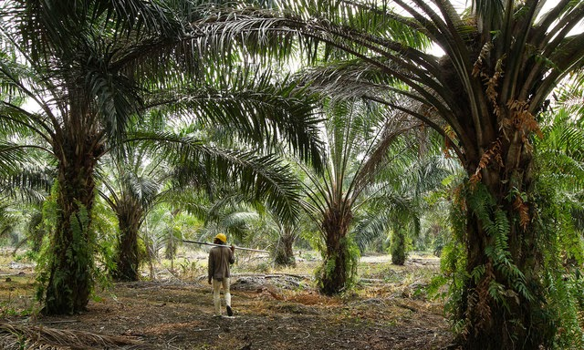 A worker walks through a palm oil plantation in Batu Pahat, Johor, Malaysia.  (Credit: Goh Seng Chong/Bloomberg) Click to enlarge.