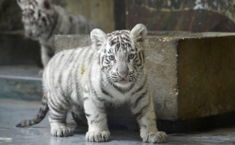 imagem de um filhote de tigre