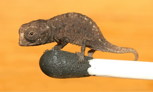 Image of A Match For The World's Smallest Chameleon