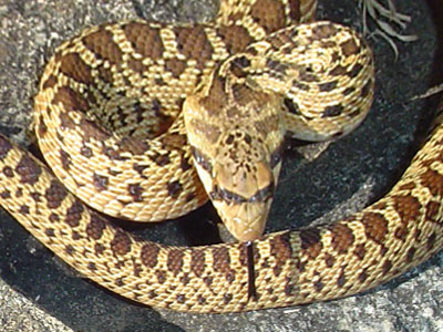 Gopher snake vs rattlesnake