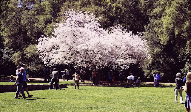 One Place At A Time Cherry Blossom At Descanso Gardens In