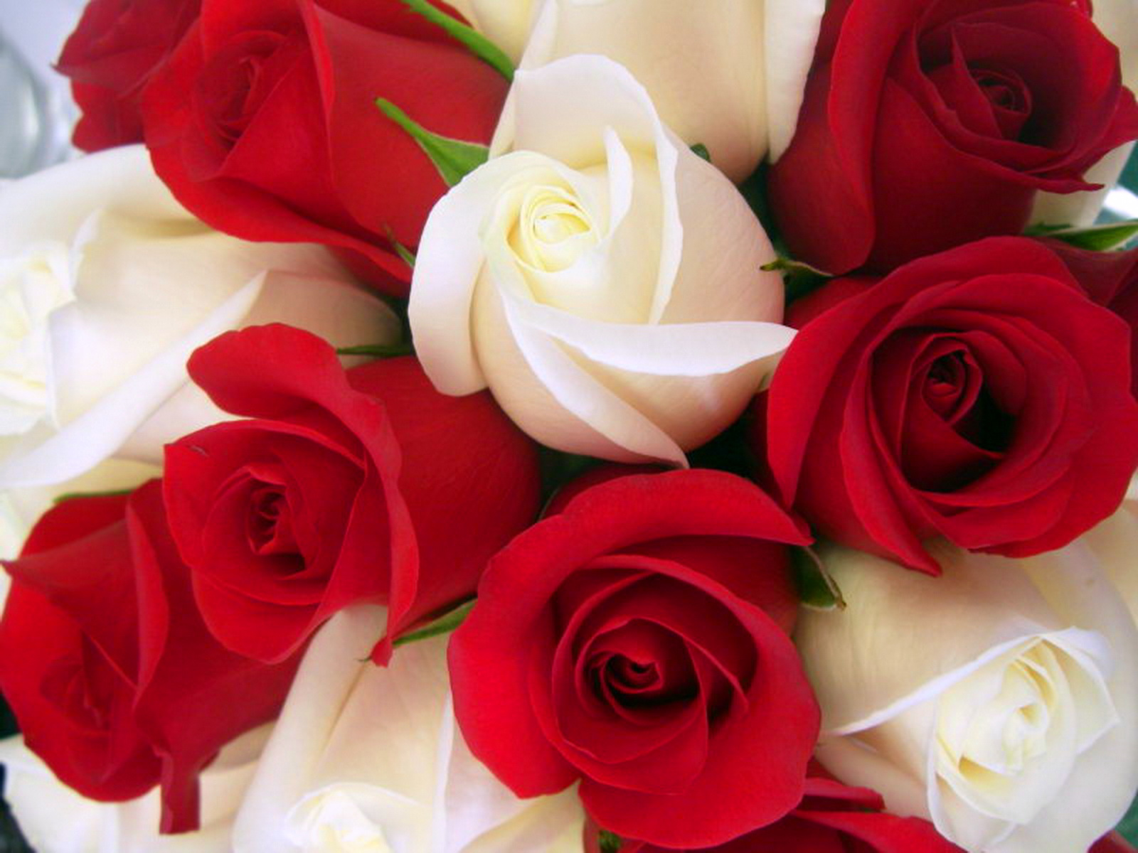 Beautiful Rose Wallpapers
