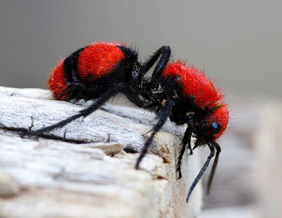RED VELVET ANT OR COW KILLER