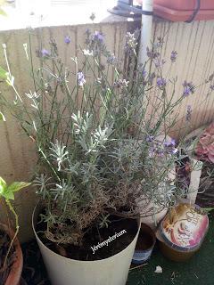 La Lavande, encore fleurie, prête à être récoltée, une dernière fois
