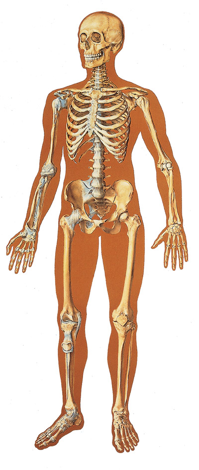 Dia Internacional del Hombre Esqueleto humano