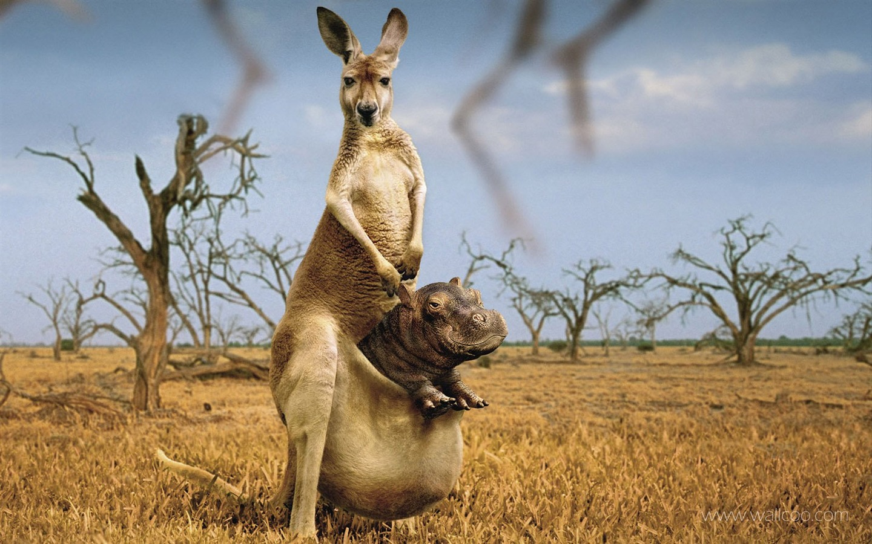 Amazing Kangaroo In Wild