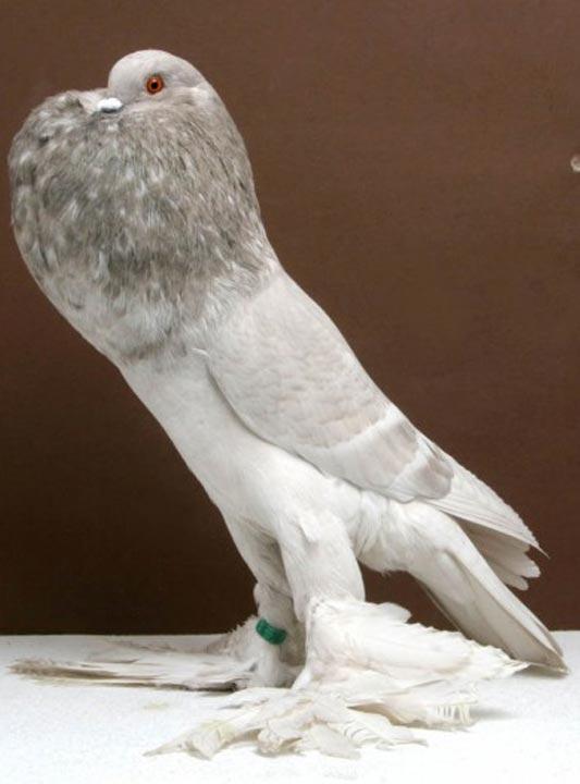 kinds of pigeons