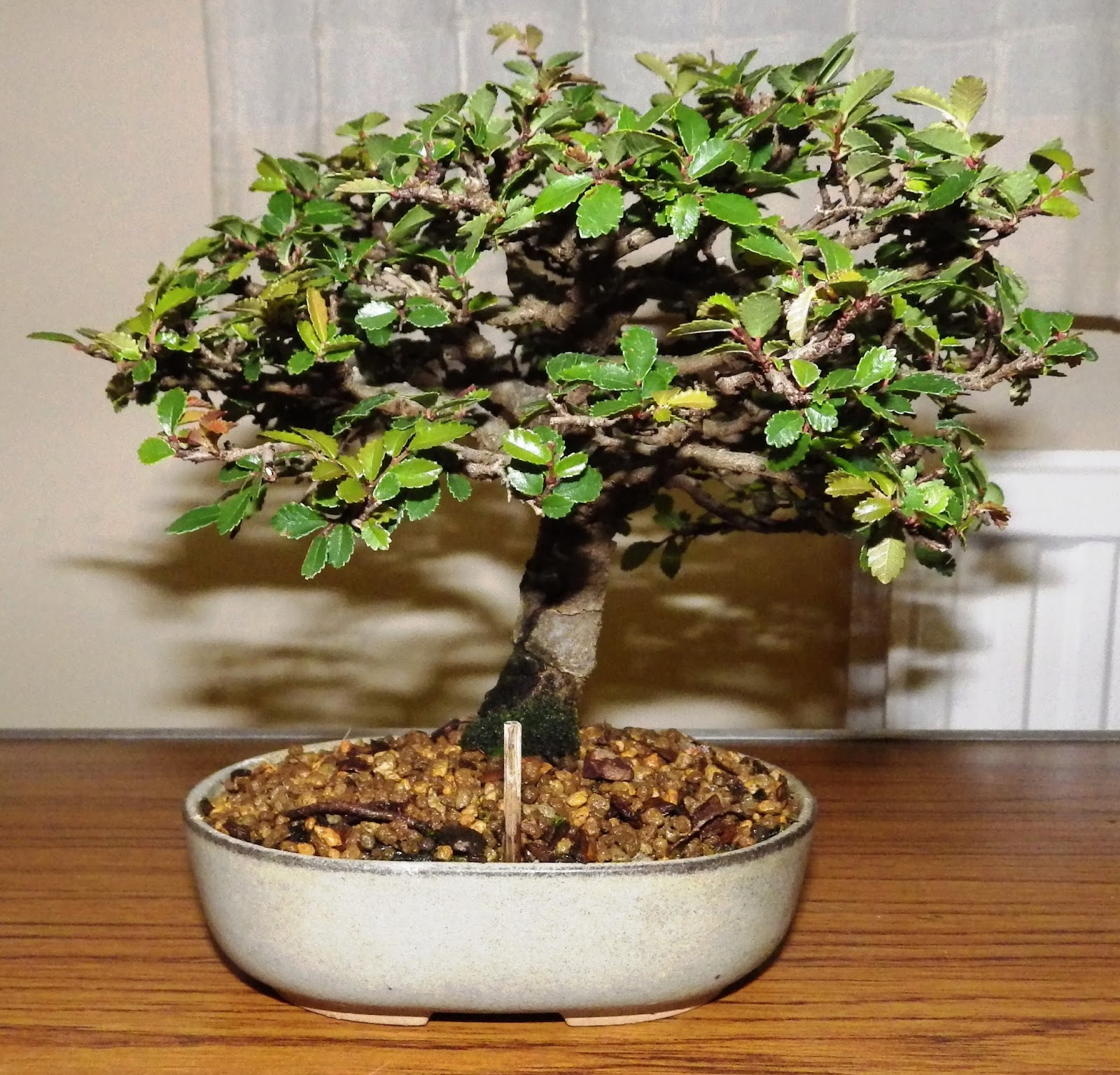 Ashfield Bonsai Club