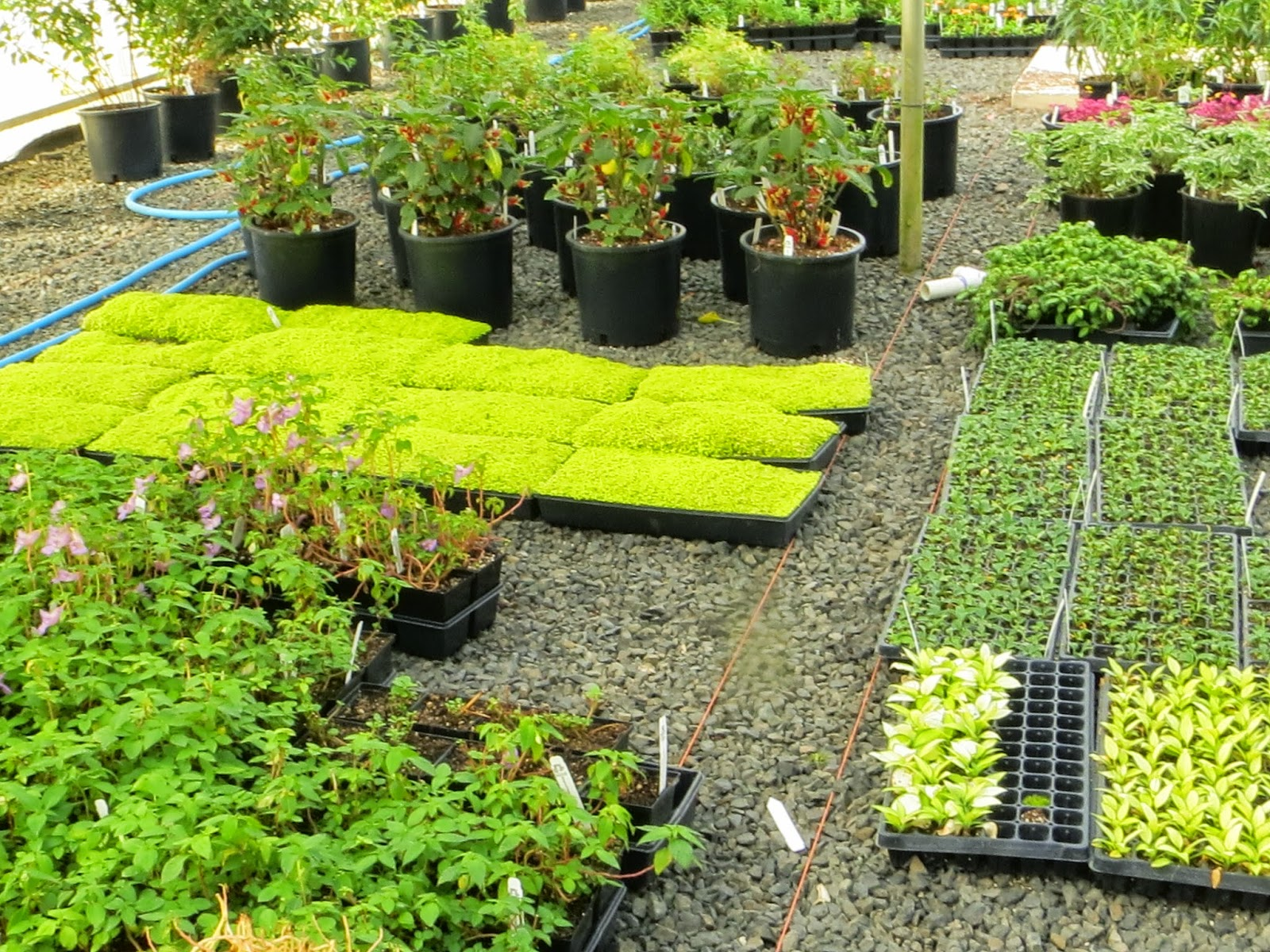 An Area Where Mark Is Propagating Stock From Fry Road Nursery, Some More  Unusual Perennials For The Fit For A King Line. He Pointed Out Several Very  ...