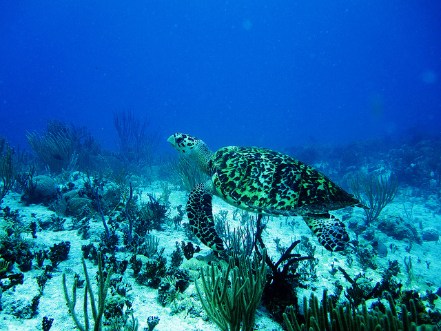 Hawksbill turtle in Mesoamerican Barrier Reef System