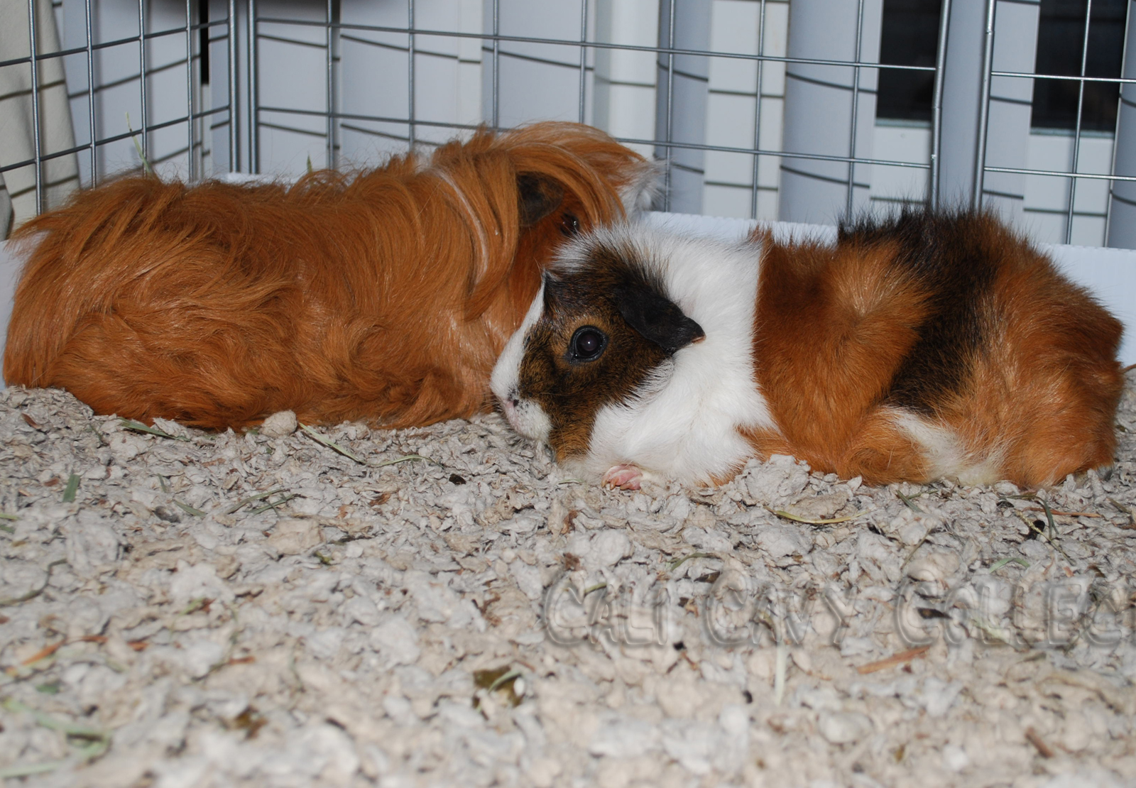 Which Carefresh Bedding Is Best For Guinea Pigs