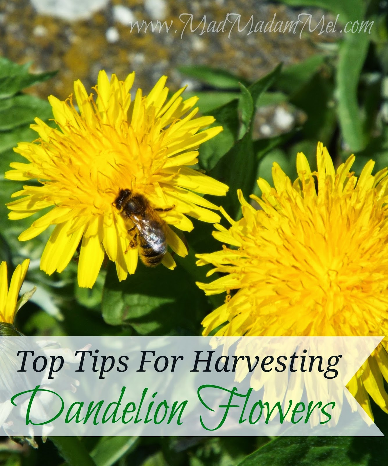 top tips for harvesting dandelion flowers