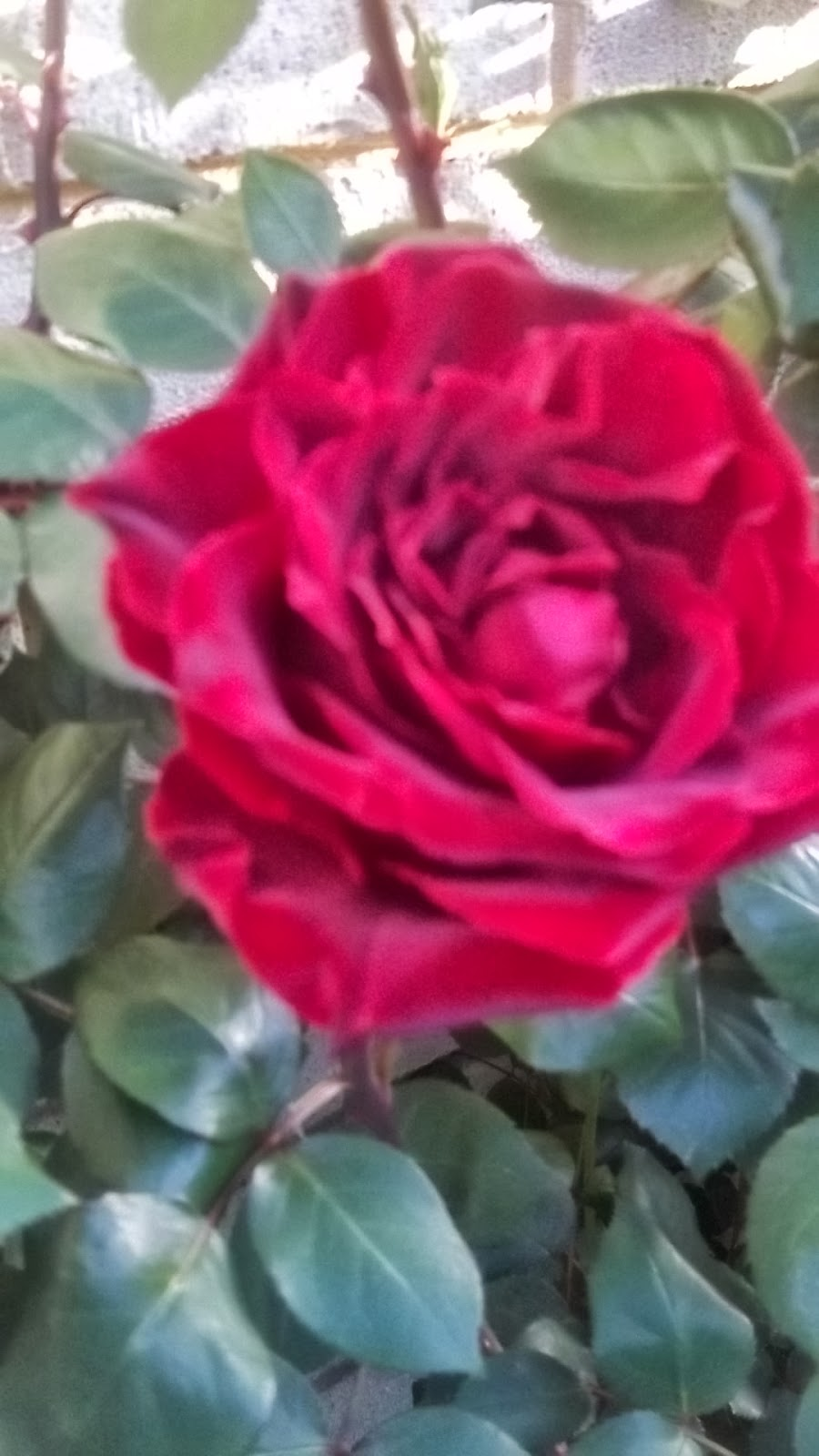My Cooking And My Garden Red Roses