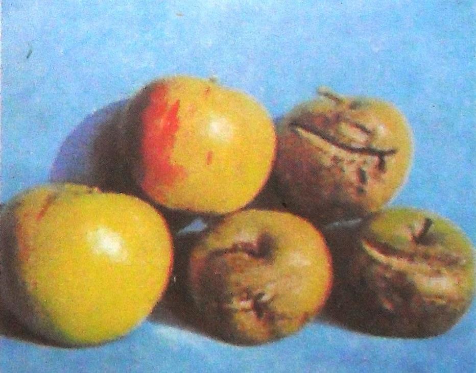 недостаток бора  у плодов яблони