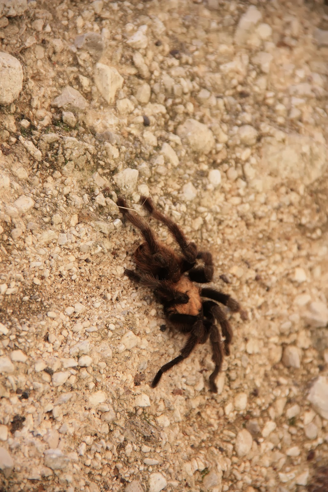 Iu0027ve only seen one other tarantula in the wild and that was on Mt. Diablo in the Bay Area when I first moved there in 1996. & A is for Adventure: Kasha-Katuwe Tent Rocks National Monument (New ...