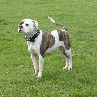 American Anjing Bulldog