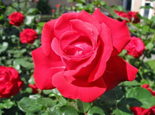 Trị tận gốc mụn bọc nhanh chóng bằng hoa hồng