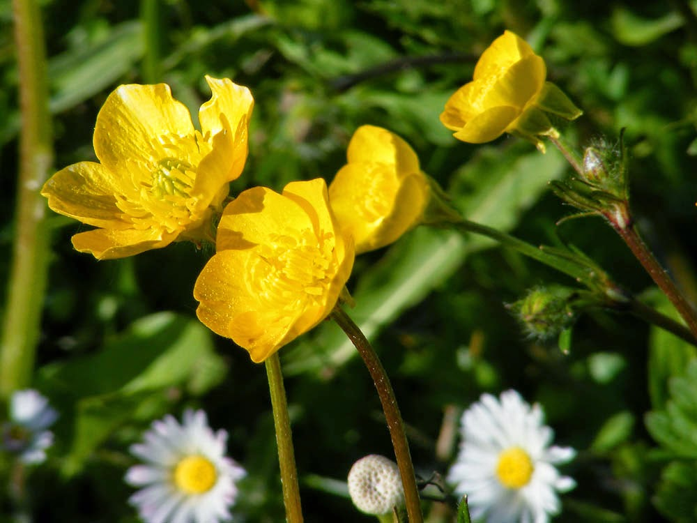 Buttercup Flower Meaning of Buttercup Flowers With