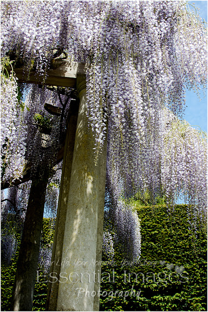 Lilac coloured wisteria falling over the columns