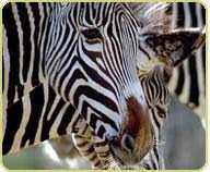 Around The Globe: Grevy's Zebra
