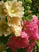 . e ne erano nati alcuni con fiori di diversi colori: panna, rosa chiaro, . (il mio orto )
