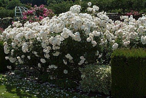 D as de rosas elegir un rosal trepador blanco for Viveros el rosal