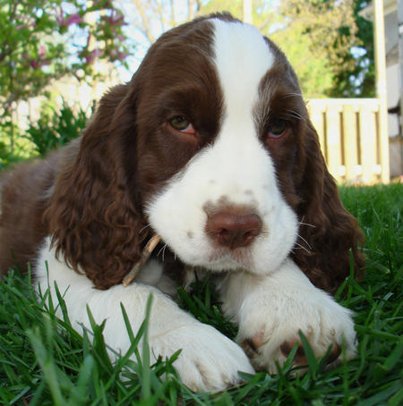 Training Spaniel Puppies Spaniel Potty Trained
